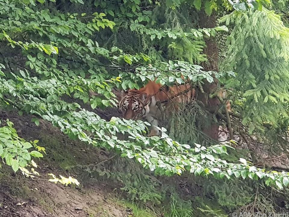 Amurtigerin Irina im Tigergehege des Zoo Zürich