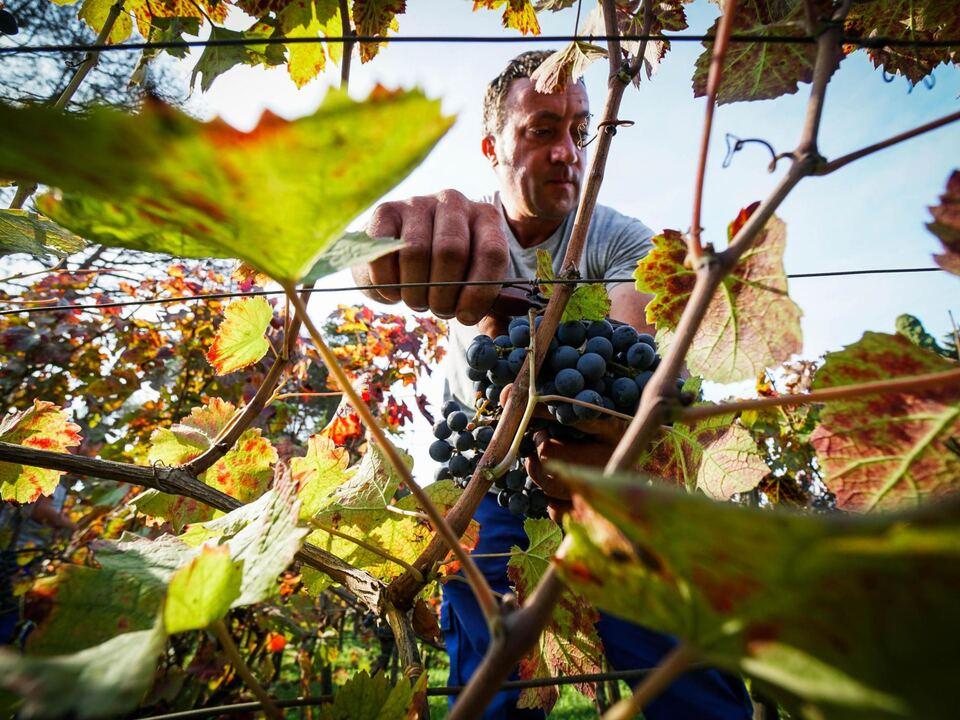 Trauben, Traubenlese, Wein, Weinernte, athesiadruck2_20200730195237273