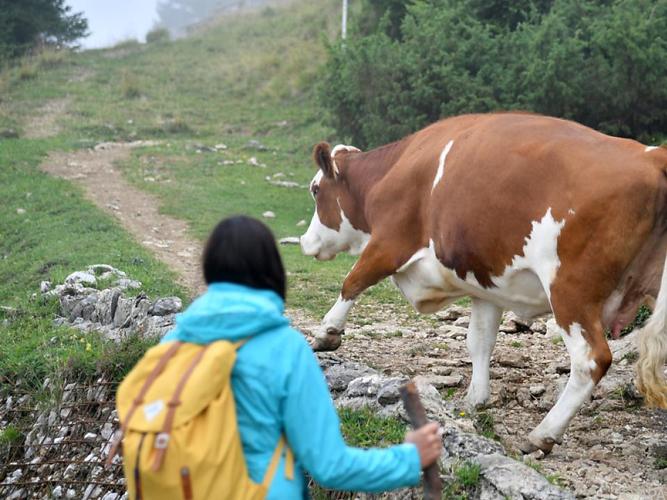 Das Zusammentreffen von Kühen mit Wanderern kann gefährlich sein. kuh sym wandern