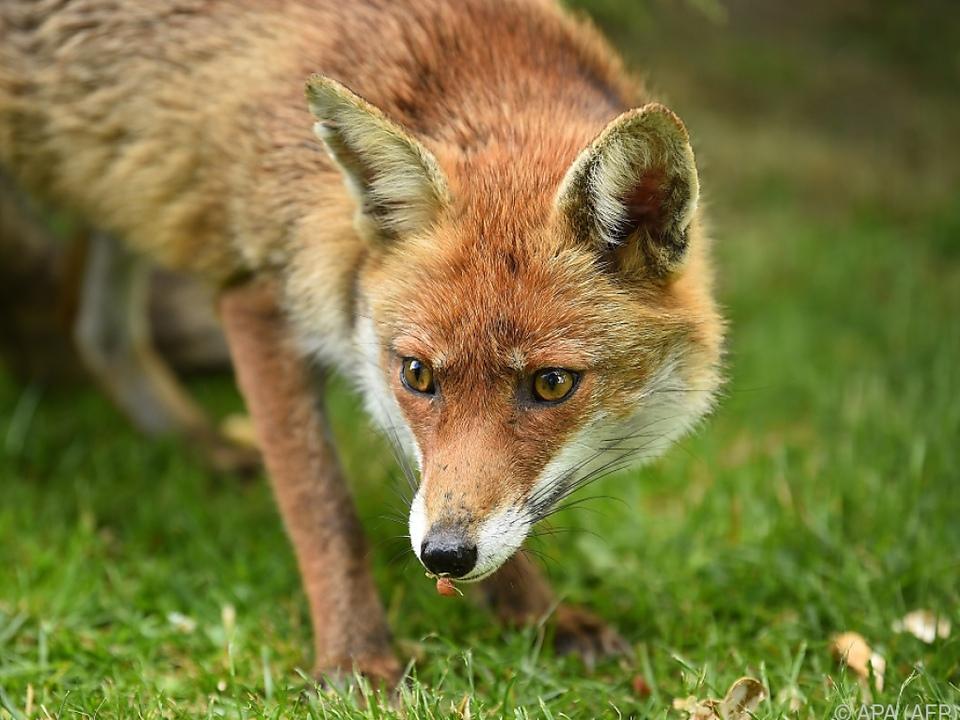 Ein Fuchs als ungebetener Besucher im Schlafzimmer