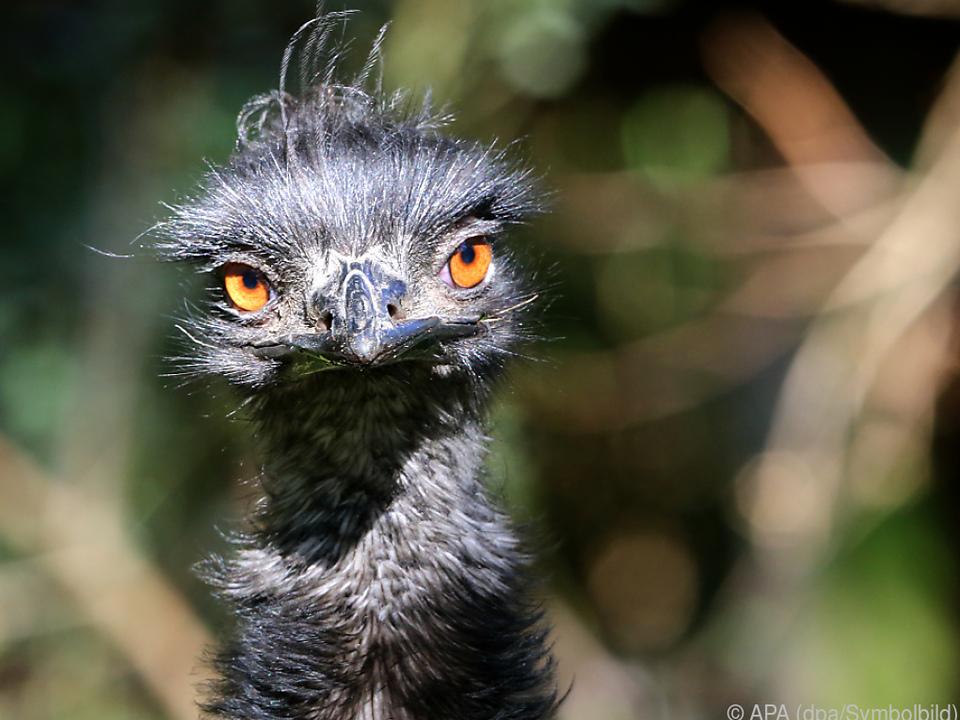 Emus bekamen wegen schlechten Benehmens Hausverbot