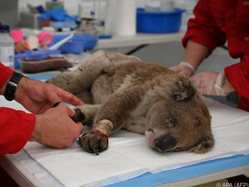 Koalas erlitten zum Teil schwere Verbrennungen