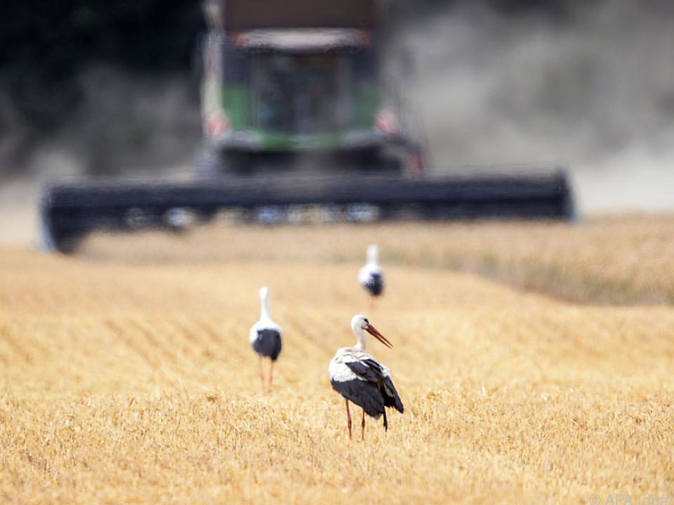 Weltweit wird auf eine Rekord-Produktion zugesteuert landwirtschaft monokultur getreide weizen ernte