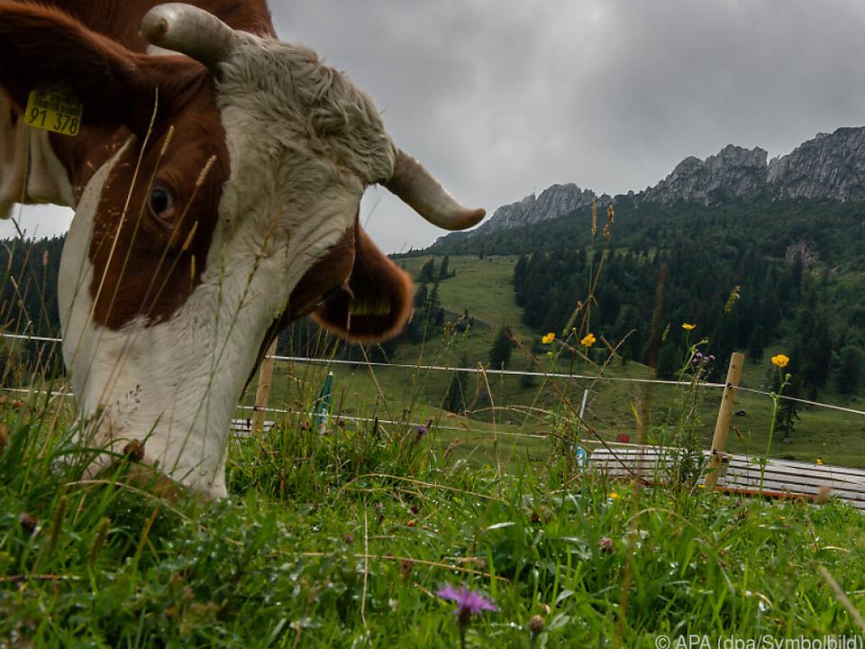 Die Kuh wurde gleich doppelt Diebstahlsopfer