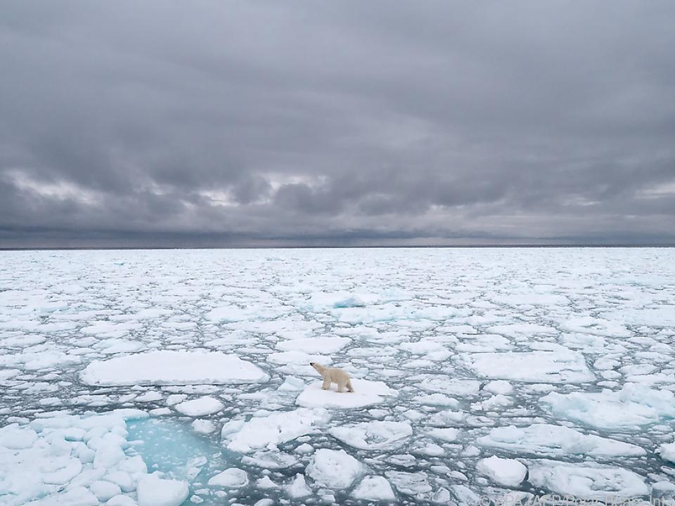 Klimafolgen der Corona-Pandemie helfen dem Eisbär wenig