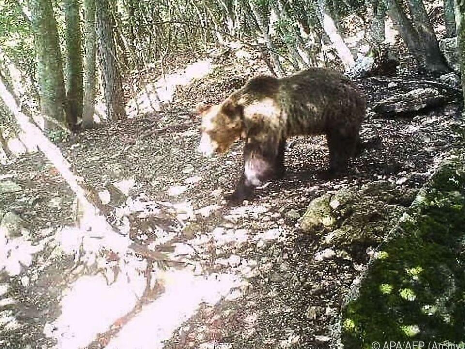 Beim Abendspaziergang in Trentino: 120-Kilo-Bär greift Polizisten an