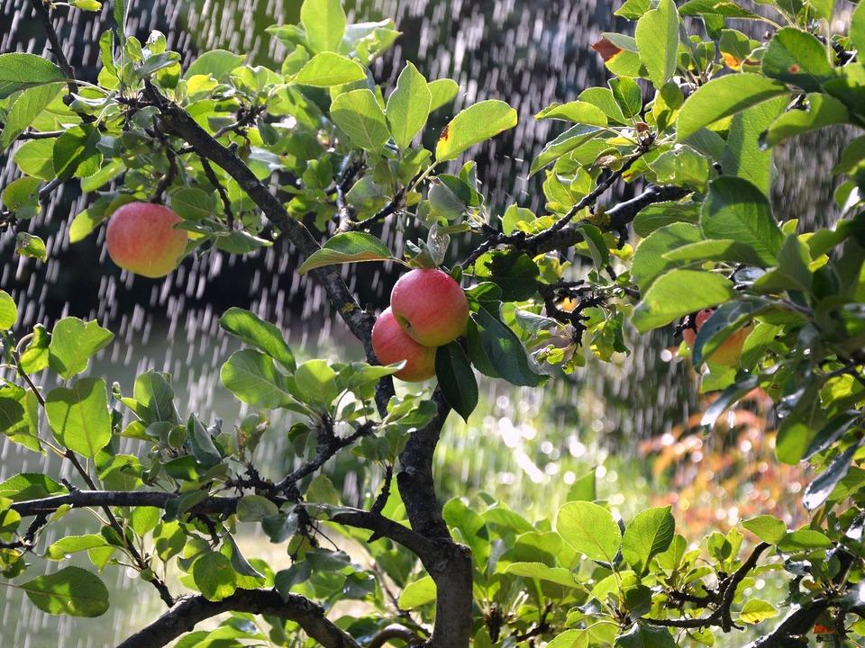 Apfelbaum Beregnung