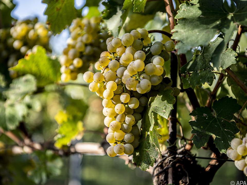 Die Weinlese beginnt in diesem Jahr etwas später