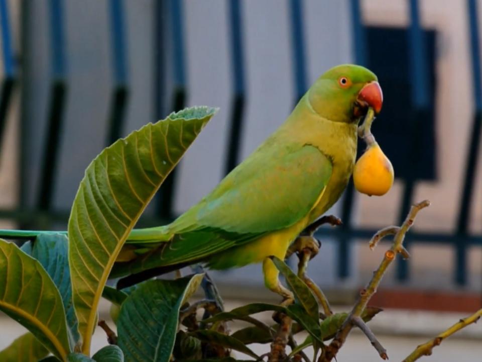 Parrocchetto dal collare, Papagei