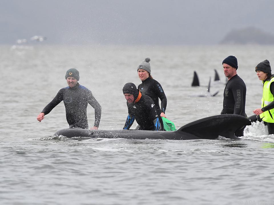 Verzweifelte Rettungsversuche für Hunderte Wale