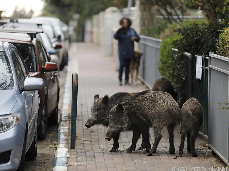 Immer mehr Wildschweine rund um Rom