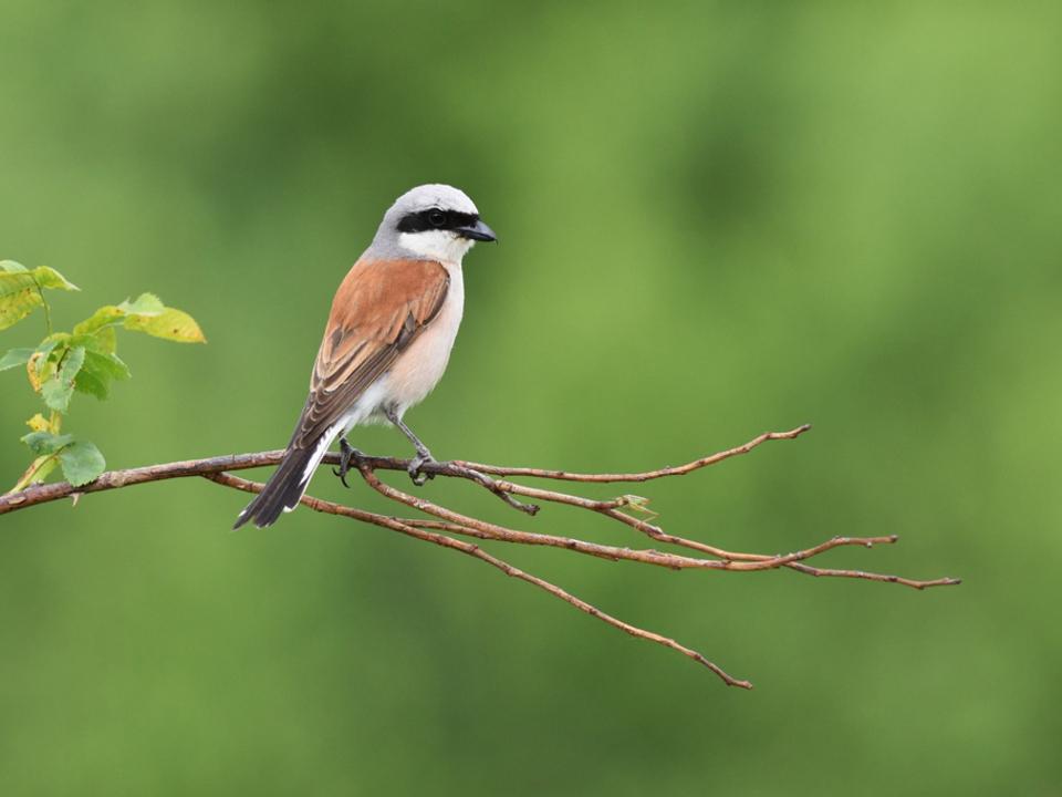 Neuntöter  oder Rotrückenwürger Vogel