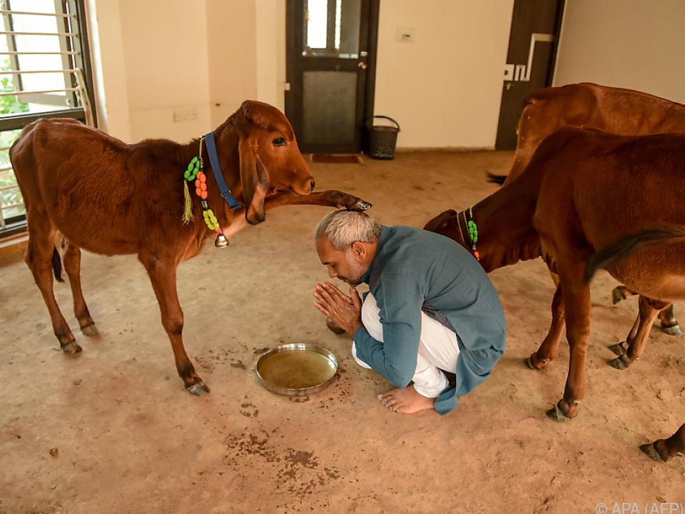 Kühe sind in Indien heilig