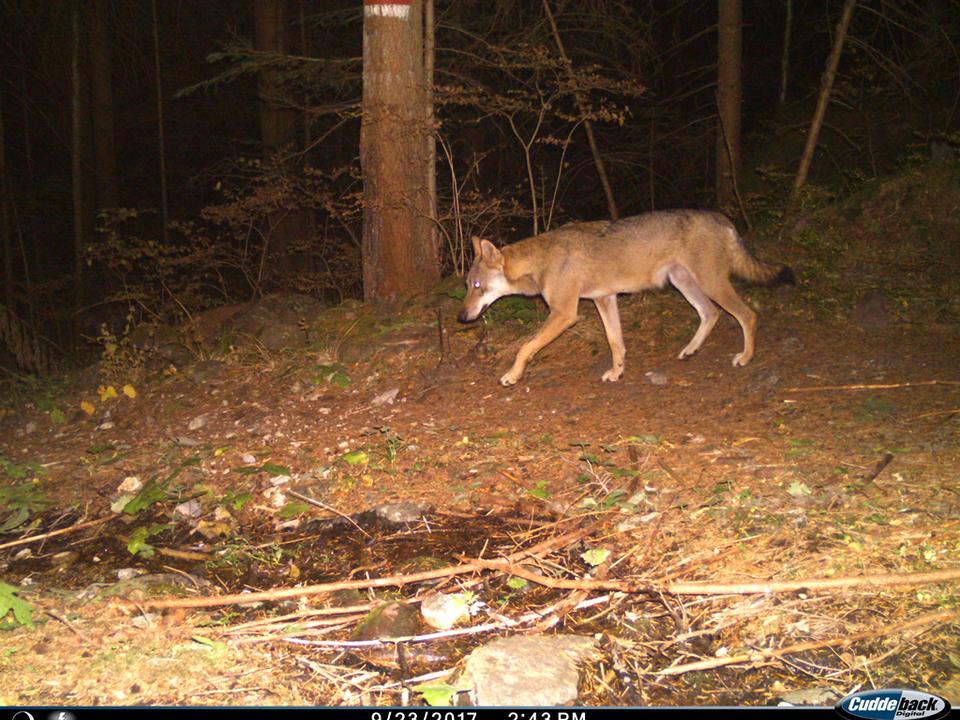 Wolf auf einem Bild einer Wildtierkamera. Foto Amt für Jagd und Fischerei Autonome Provinz Bozen - Alto Adige