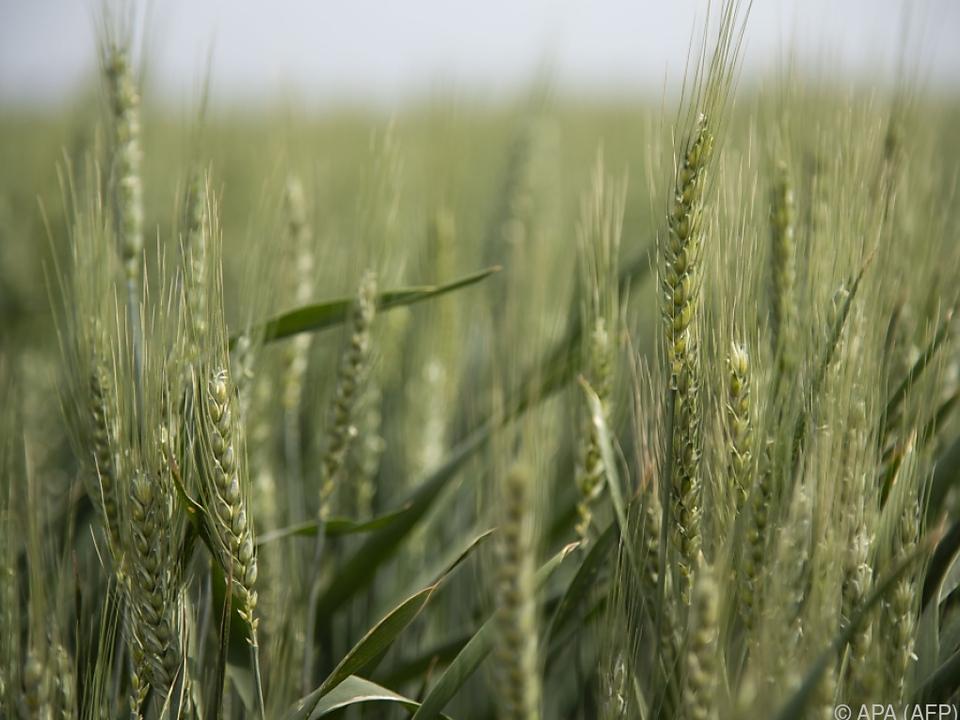Russland braucht mehr Weizen