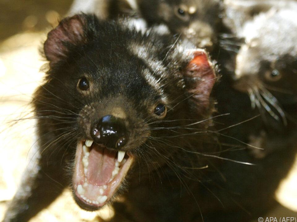 Tasmanische Teufel dürften trotz Krebserkrankung überleben