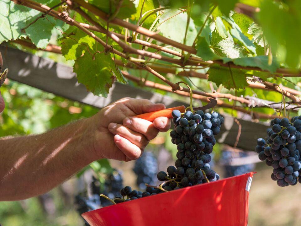Wein Lagrein Ernte