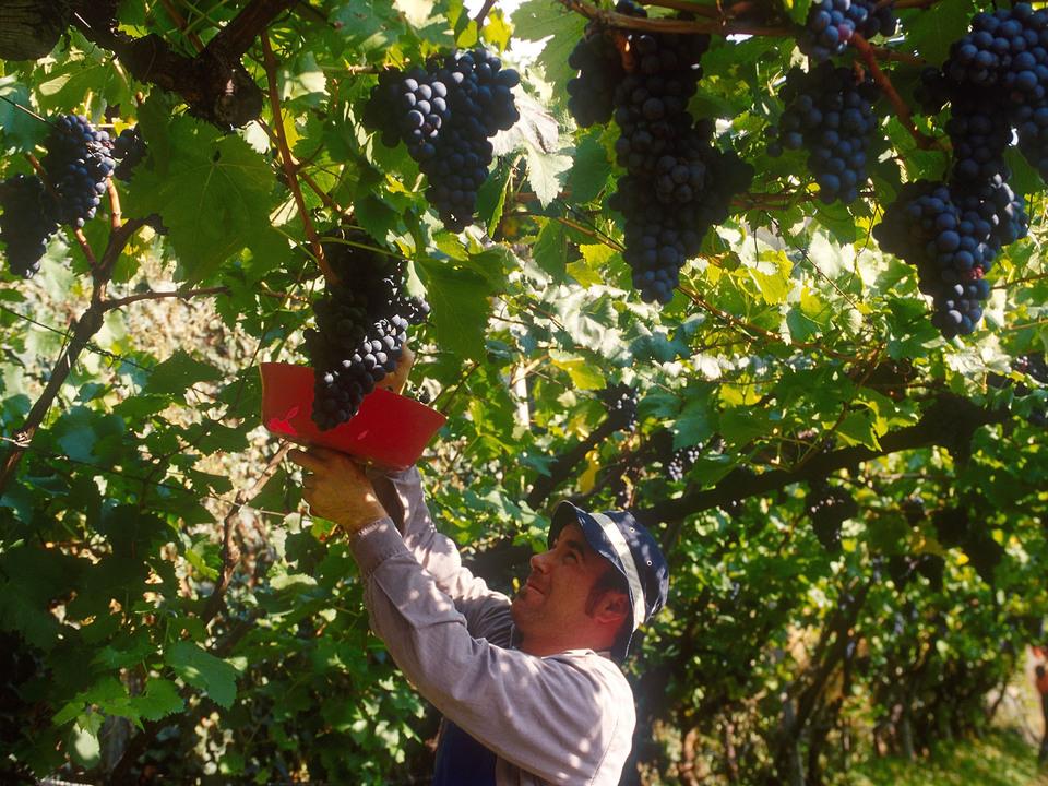 Wie die Südtiroler Landwirtschaft 2020 trotz Corona-Krise doch noch ausreichend Erntehelfer gefunden hat, hat die Beobachtungsstelle für den Arbeitsmarkt untersucht. (Foto: LPA)