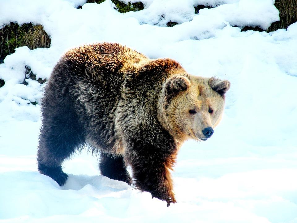 Braunbär Bär Winter