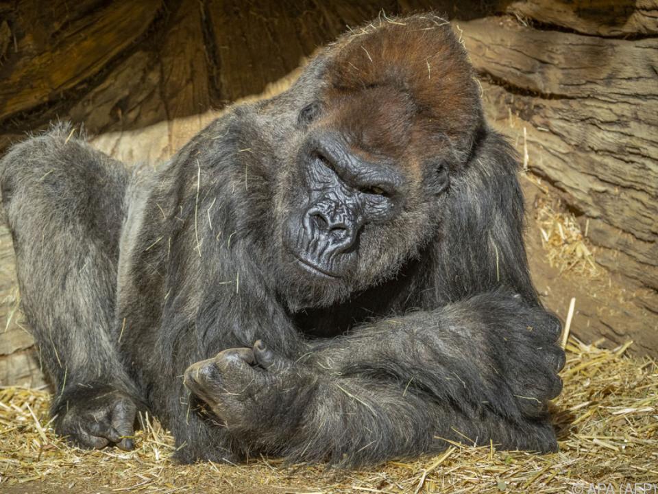 Gorilla Winston