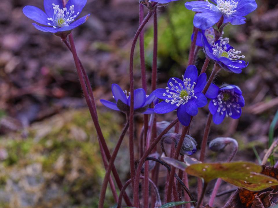 Hepatica nobilis - Lebenblümchen - Frühlingstalmadl