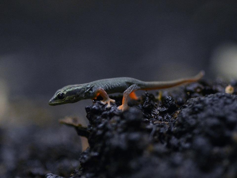 Himmelblauer Zwergtaggecko 2
