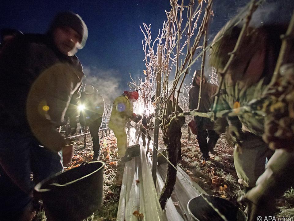 Kälte machte Eisweinernte im Burgenland möglich