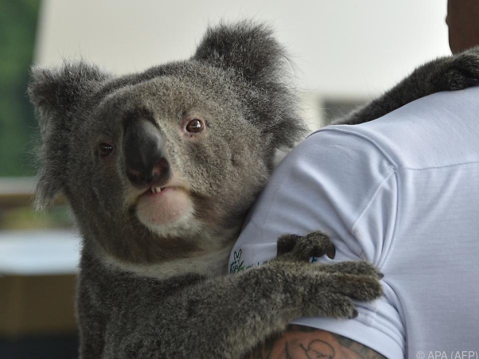 Koalas genießen in Australien besonderen Schutz