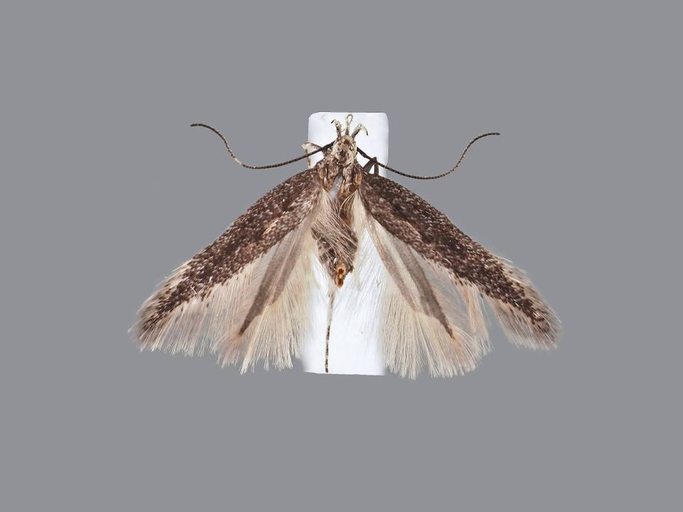 Oxypteryx marieae, nach der Enkelin des Entdeckers benannt. Foto