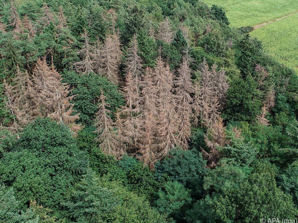 Abgestorbene Fichten in einem deutschen Waldgebiet