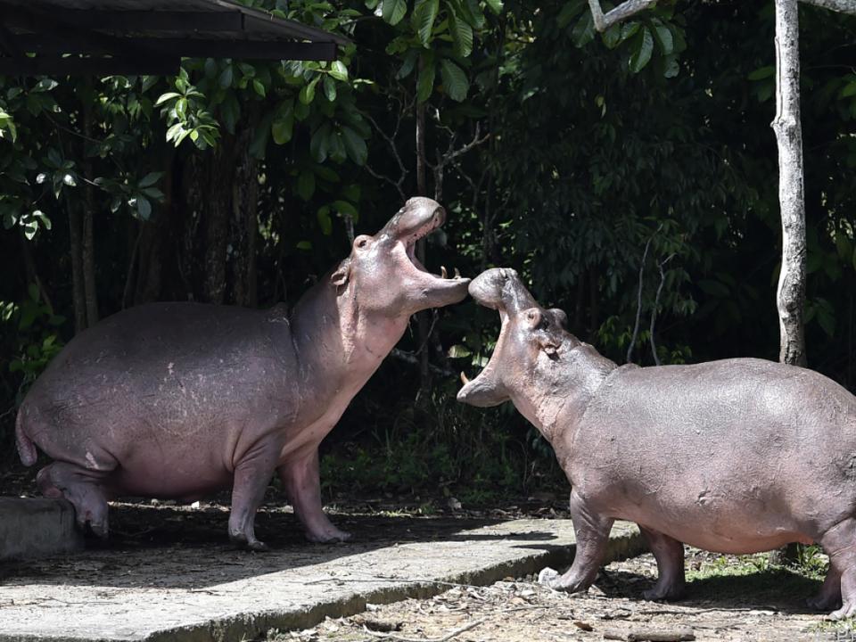 Die Hippos freuen sich ihres Lebens