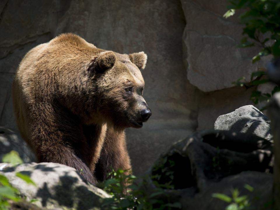 europäischer Braunbär Bär