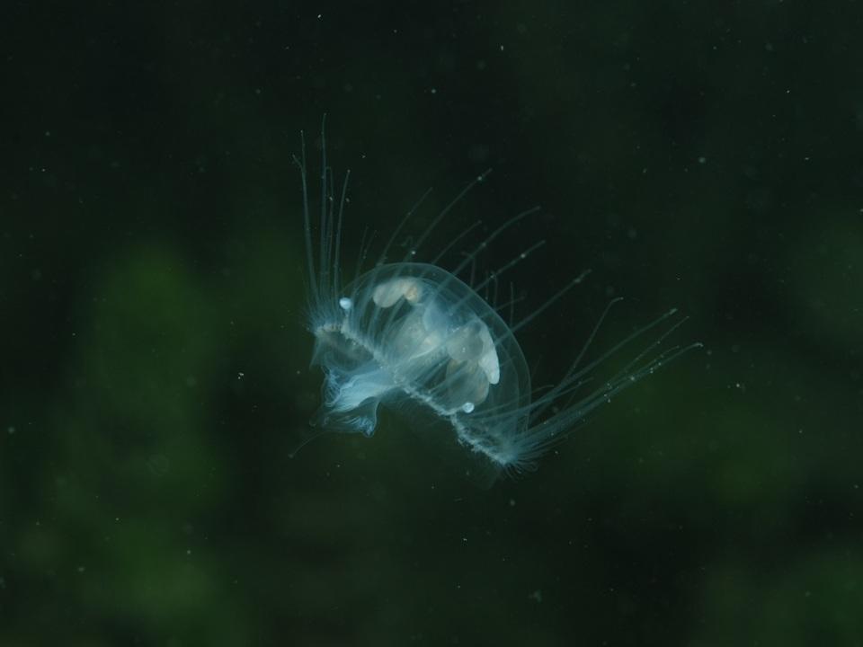 Qualle Craspedacusta sowerbii. Foto Massimo Morpurgo