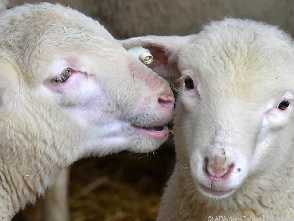 Schafe werden in Großbritannien häufig gestohlen