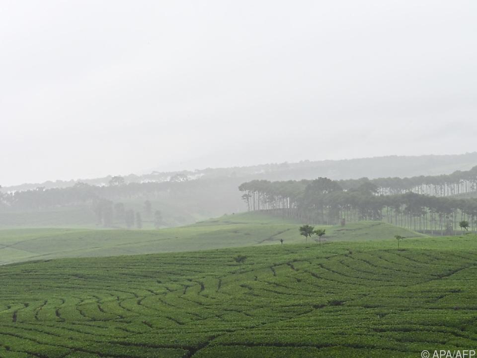 Akuter Regenmangel setzt Tee-Plantagen zu