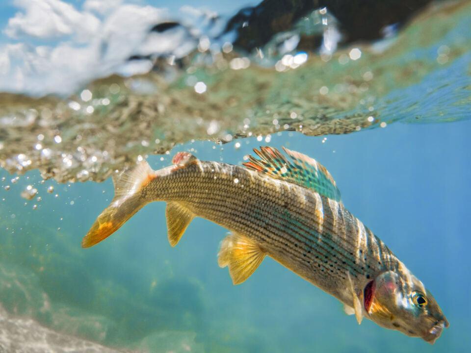 Äsche im Wasser_med - c Foto Gabriele Cabizzosu