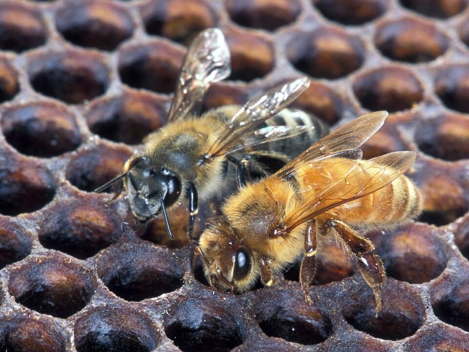 Arikanische und europäische Honigbiene