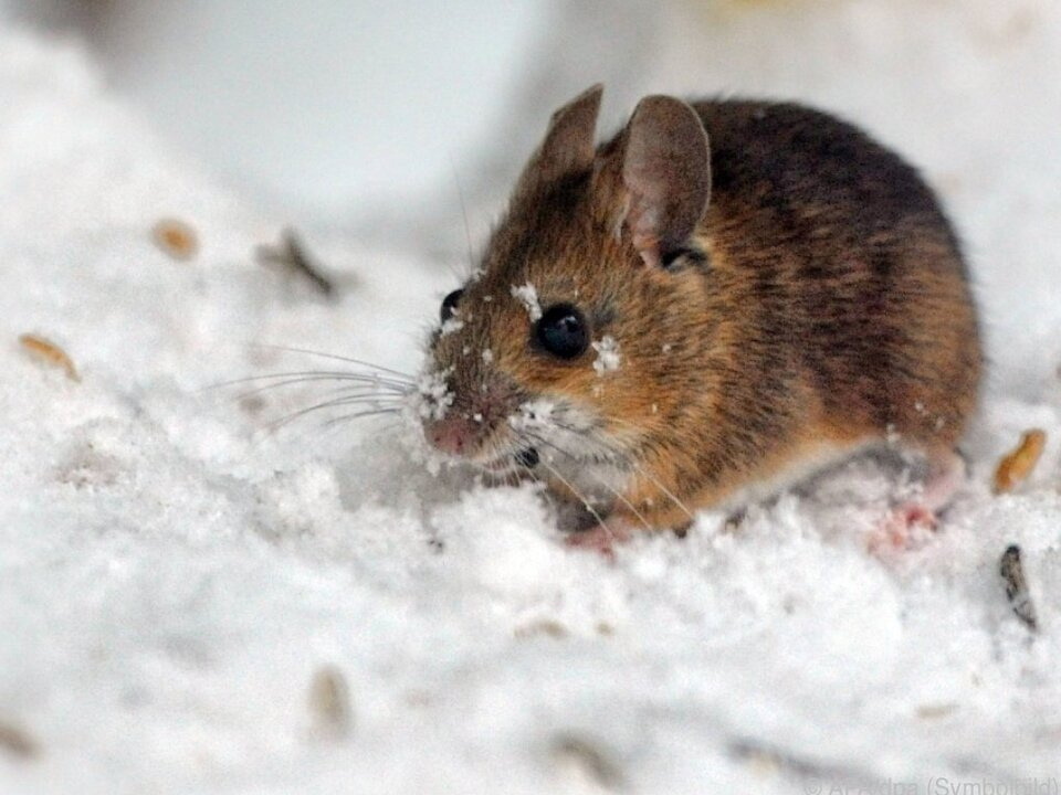 Mäuse fraßen sich überall durch maus nagetier