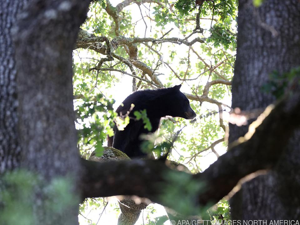 Schwarzbären können Autos knacken