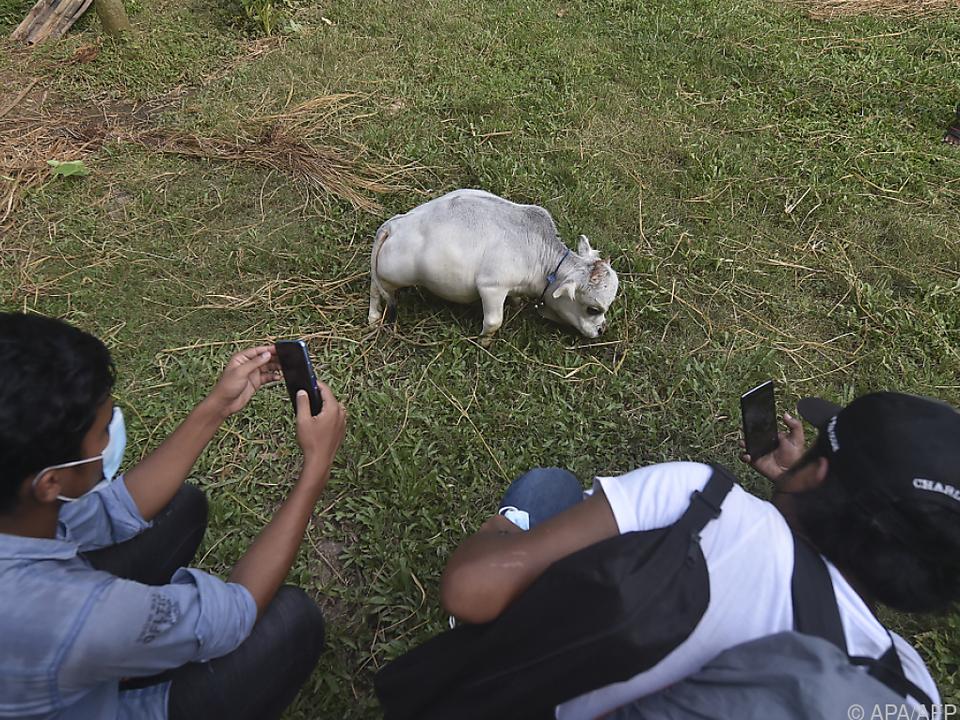 Kuh Rani ist mit 51 Zentimetern das kleinste Rind der Welt