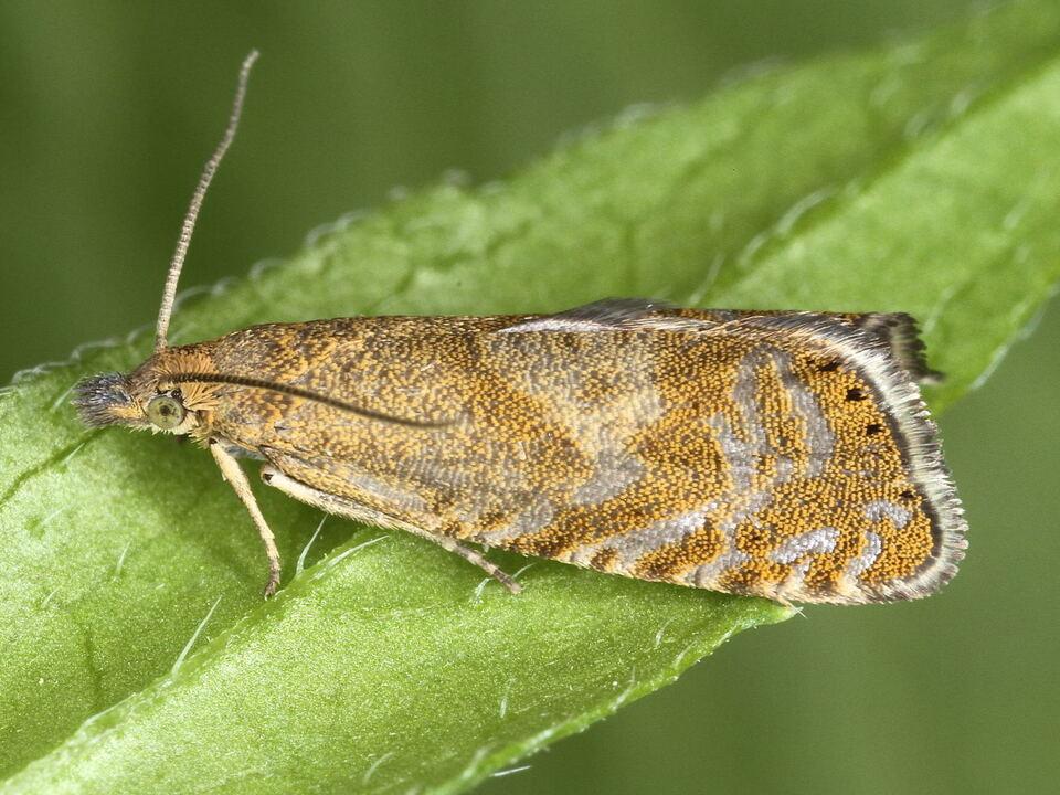Moth_c_Juerg_Schmid