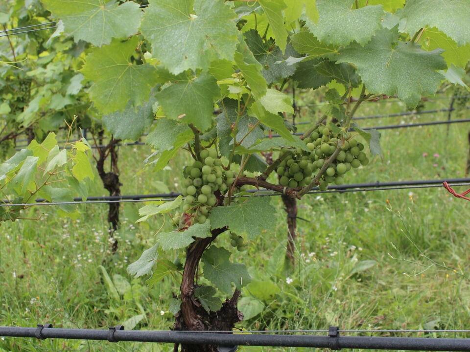 Weinbau Trauben
