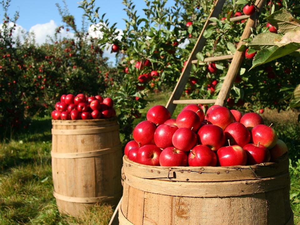 Apfel Ernte