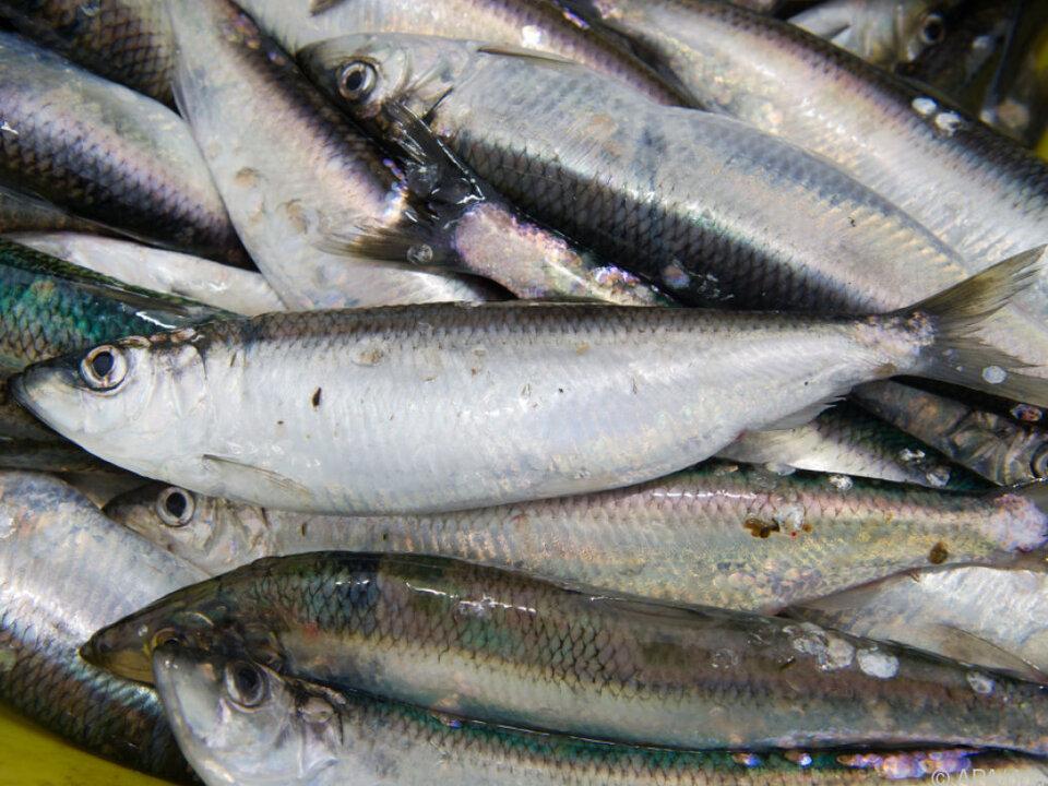 Dezimierte Fischbestände und sinkende Fangmengen