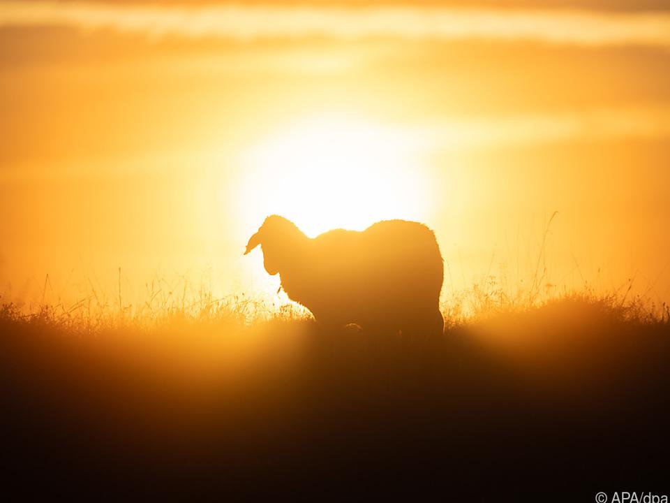 Leben eines Schafs mit Herzdruckmassage gerettet landwirtschaft Schafzucht sommer weide