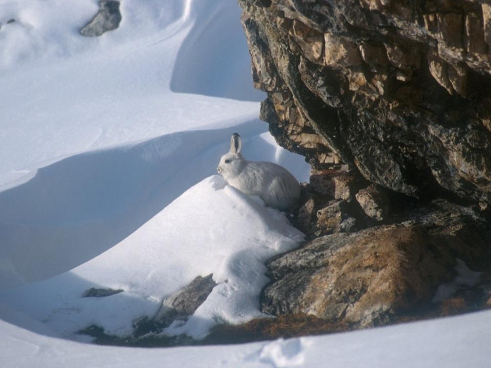 Schneehase Foto Amt für Jagd und Fischerei, Aut. Prov. Bz