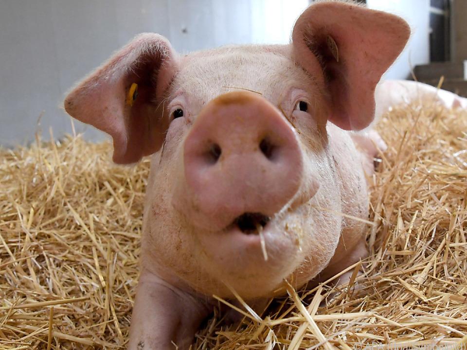 Schweine sollen Vögel von der Landebahn in Amsterdam fernhalten